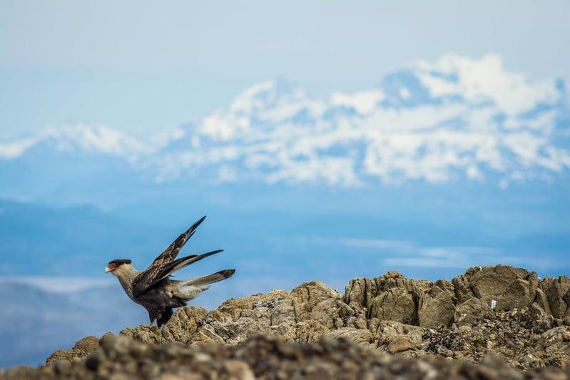 Cara Cara bird in Patagonia