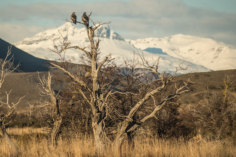 Black Chested Buzzard Eagle in Patagonia