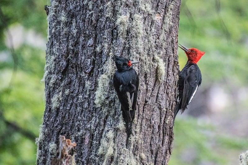 woodpecker patagonia
