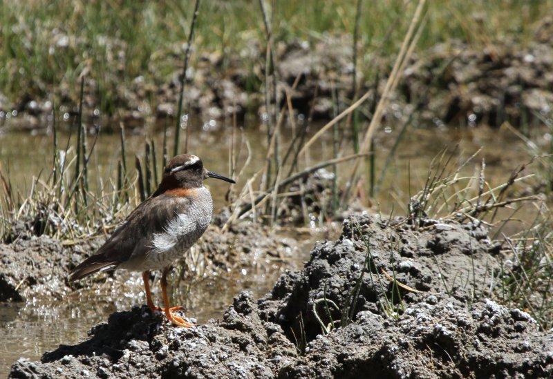 Small Bird in Chile