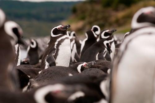 Pat092_Gable Island_Penguins