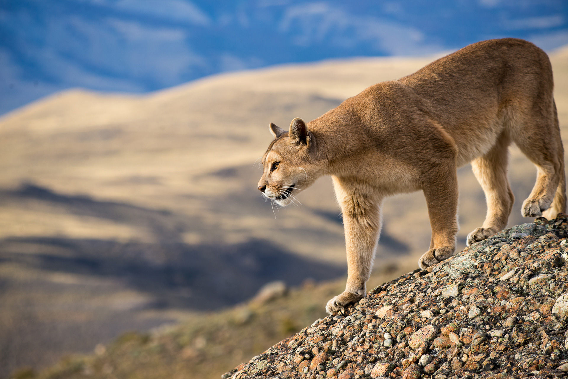 Puma in Torres del Paine