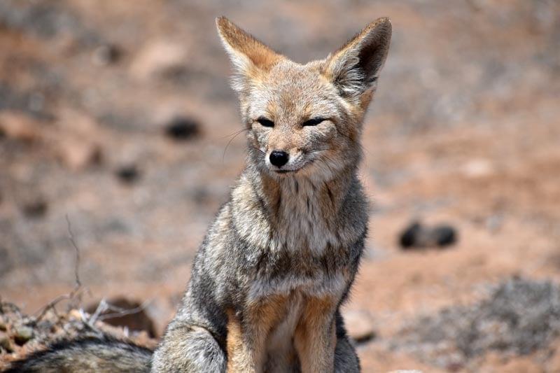Fox in Punta Choros