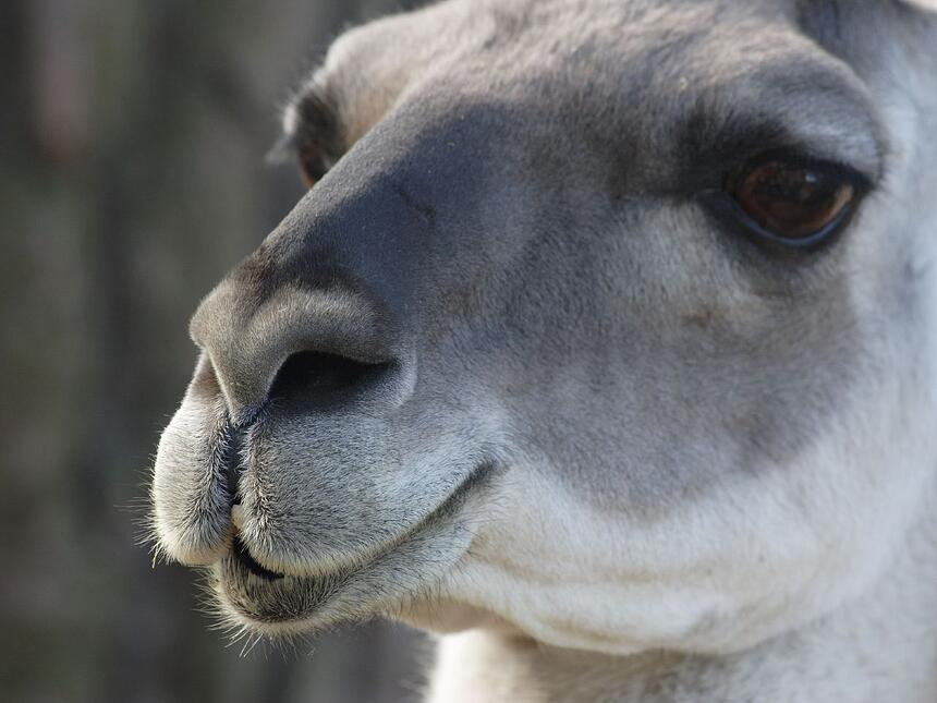 Guanaco_close_up_0