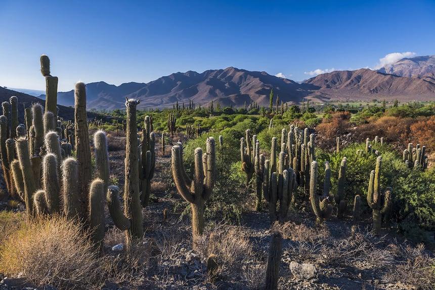 Cardones cactus Salta