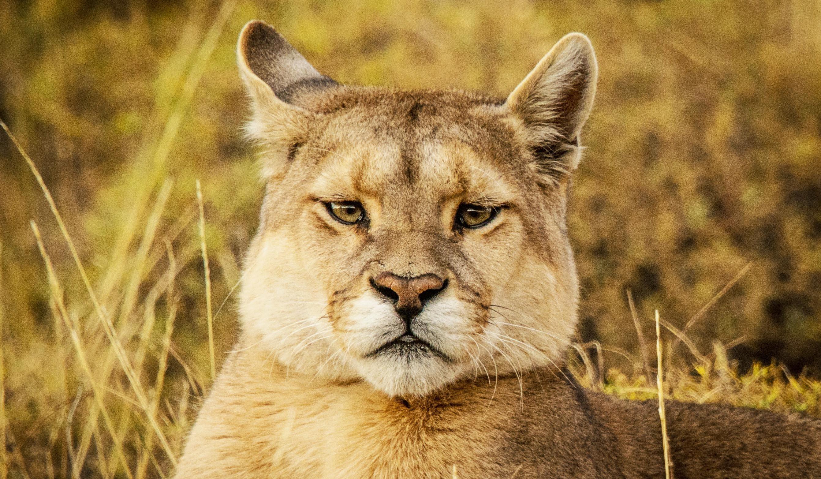 Puma chilean patagonia