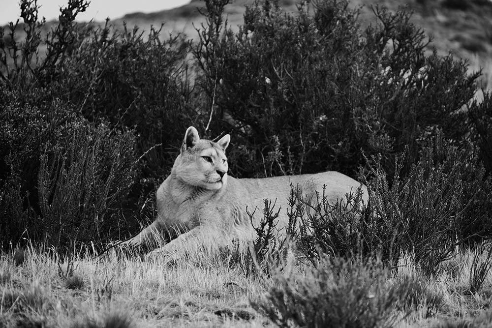 Puma in Patagonial