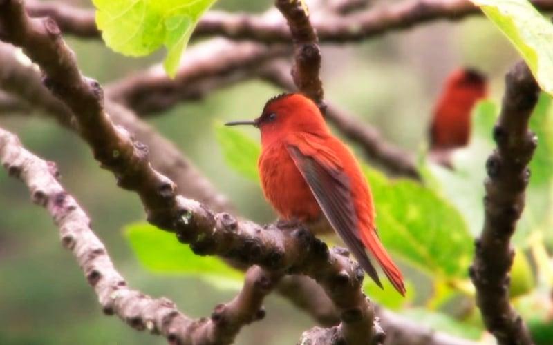 Robinson Crusoe hummingbird