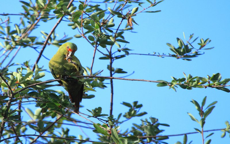 Slender billed Parakeet