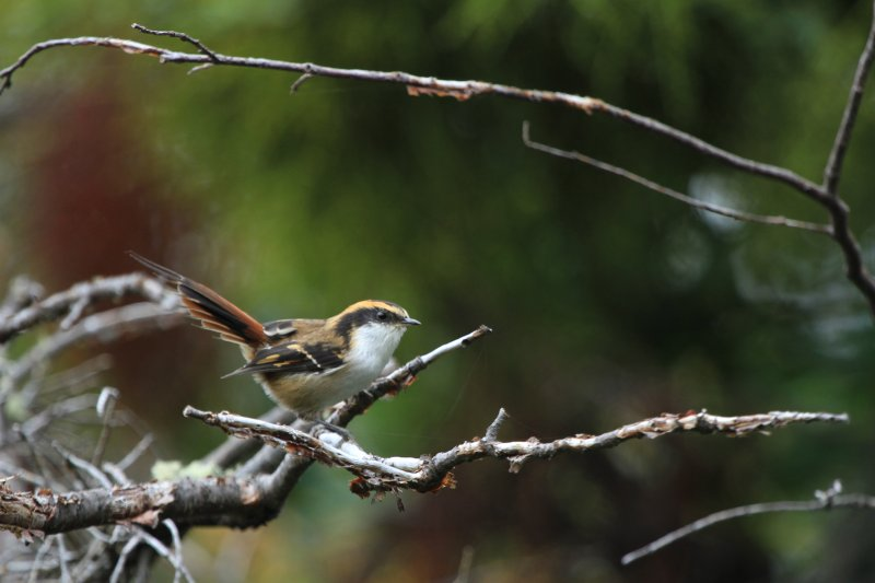 Thorn tailed Rayadito