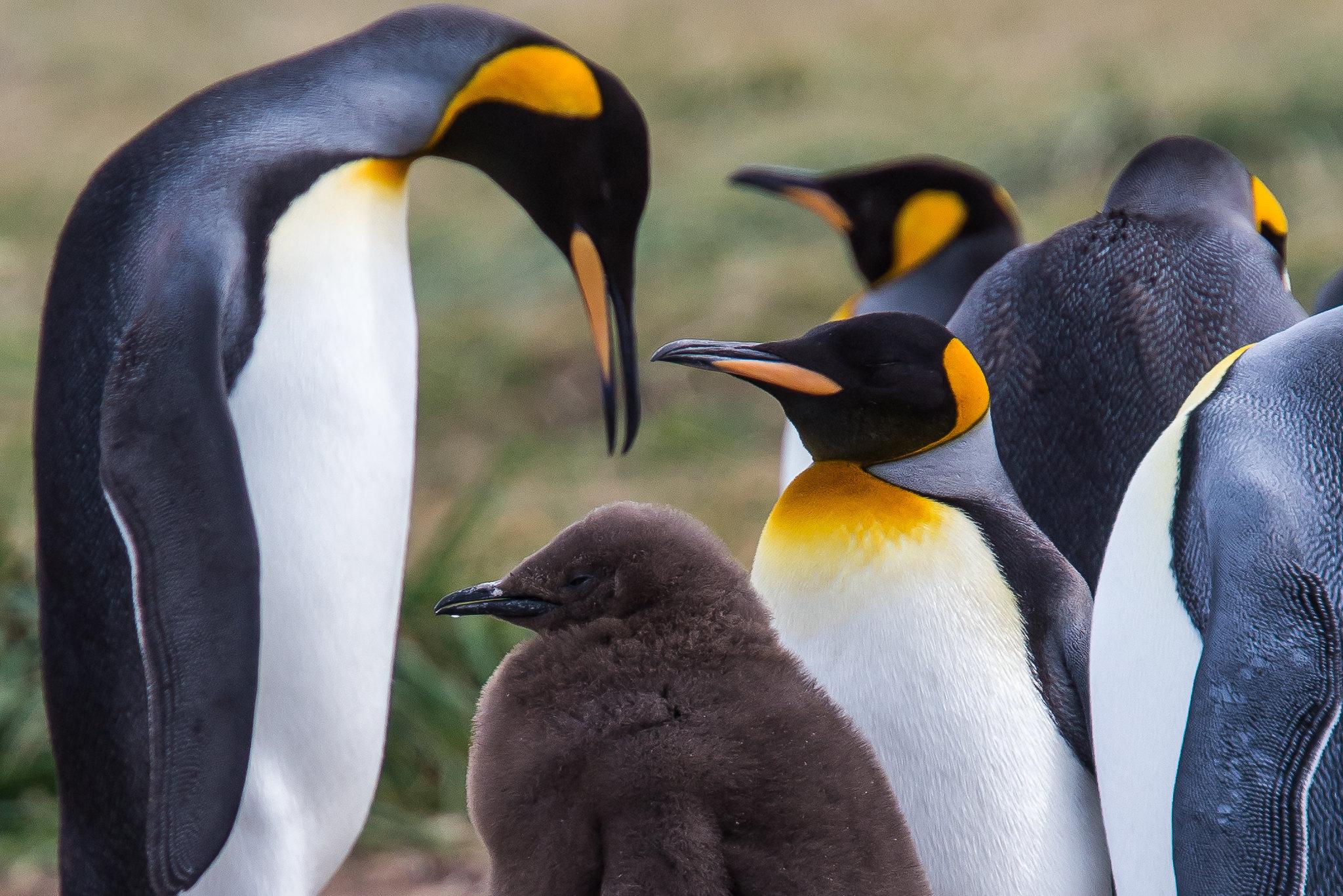 King Penguins in Patagonia