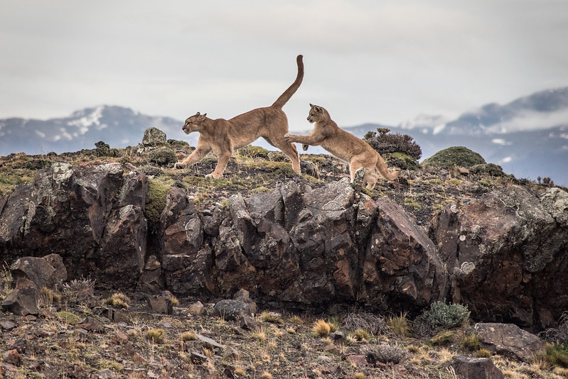 pumas playing torres del paine