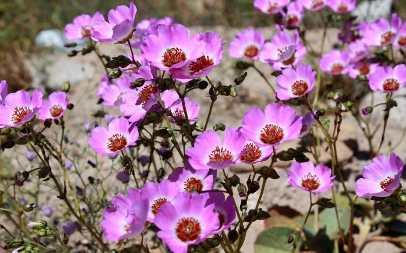 Flowers in Atacama