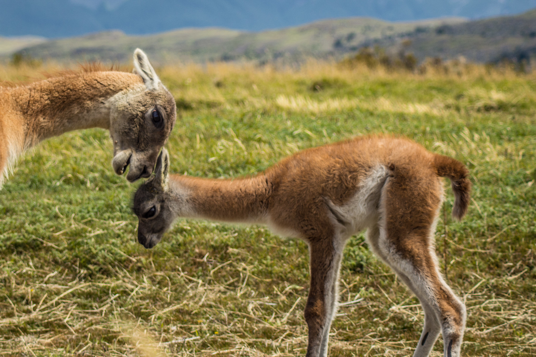 Guanacos mother and calf