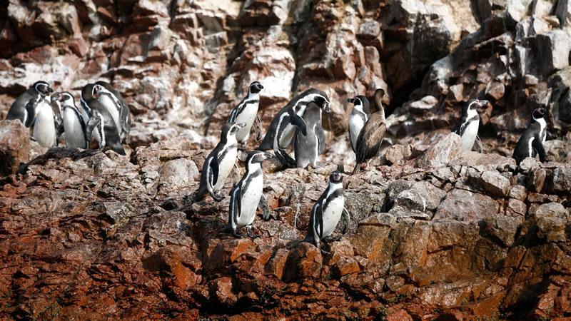 sociable humboldt penguins