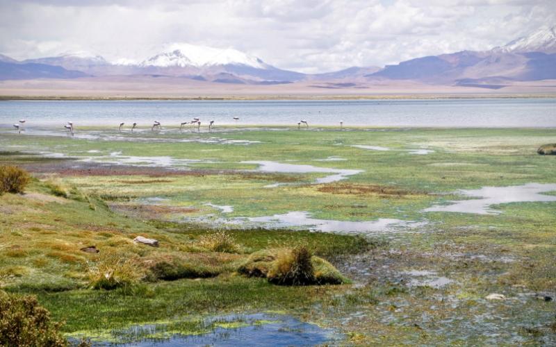Flamingos in Atacama