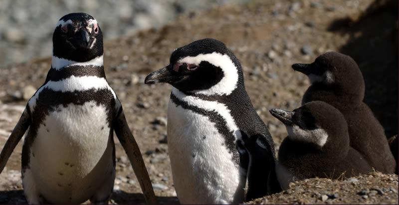 Penguins of Magdalena Island