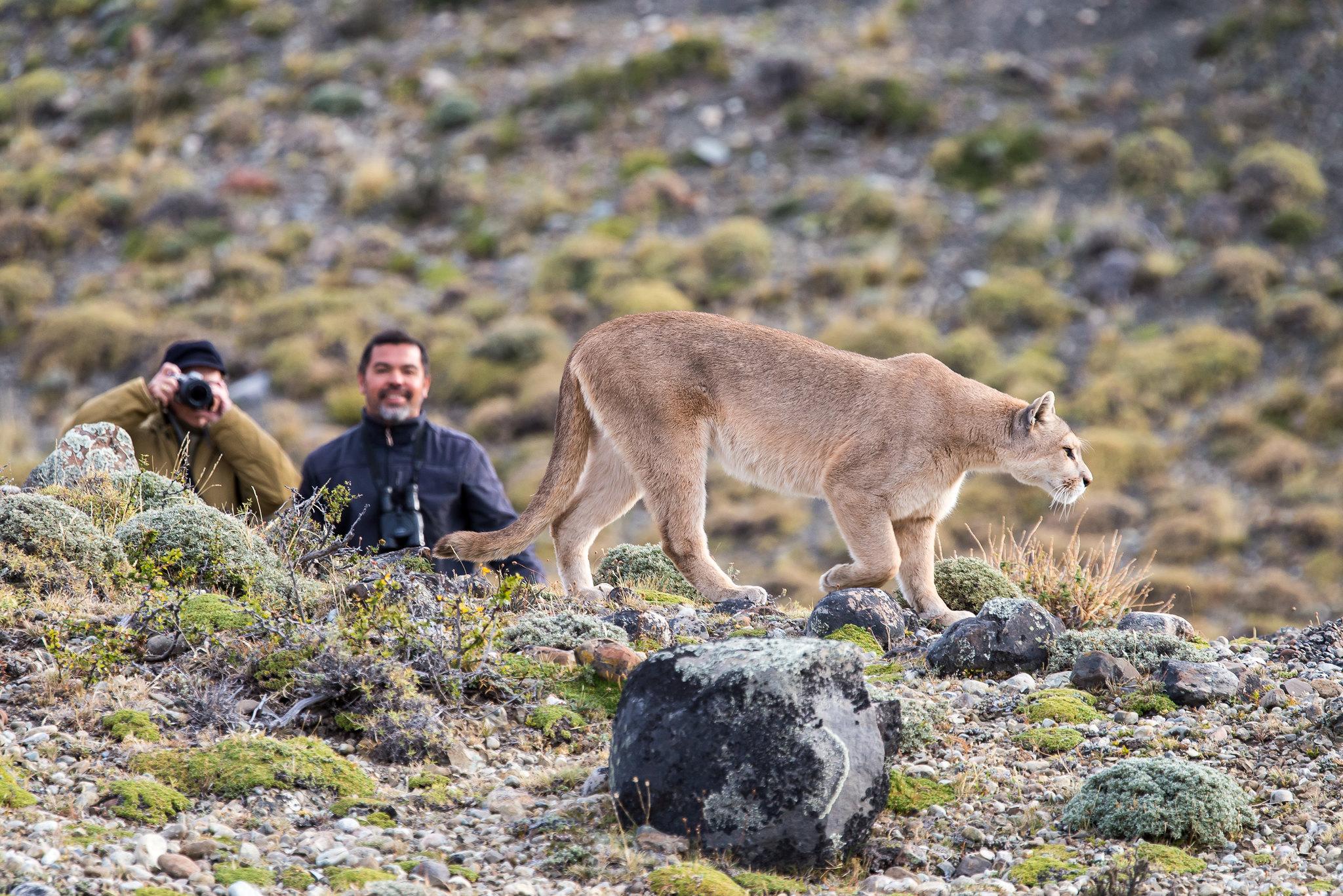 Puma Tracking in Torres del Paine