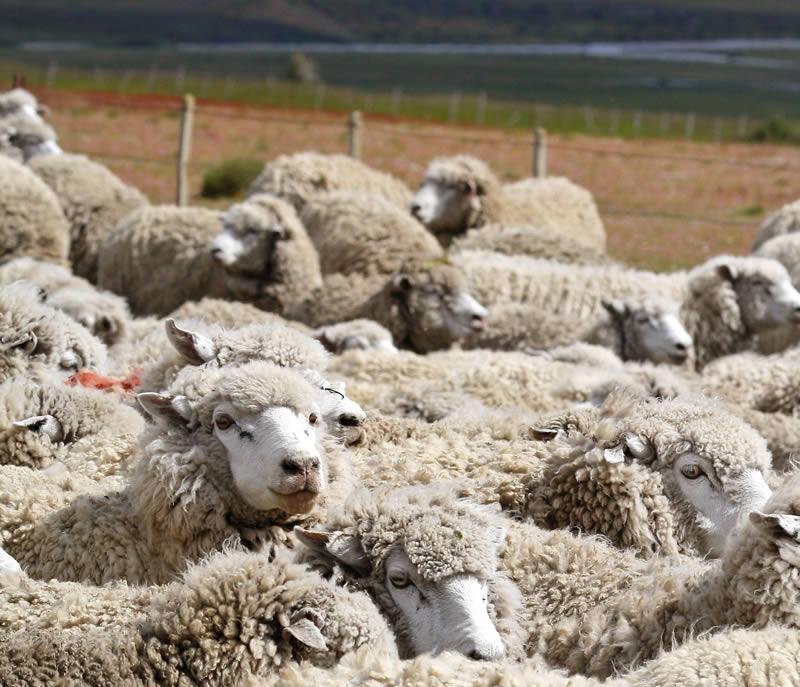 Sheep Farming in Patagonia
