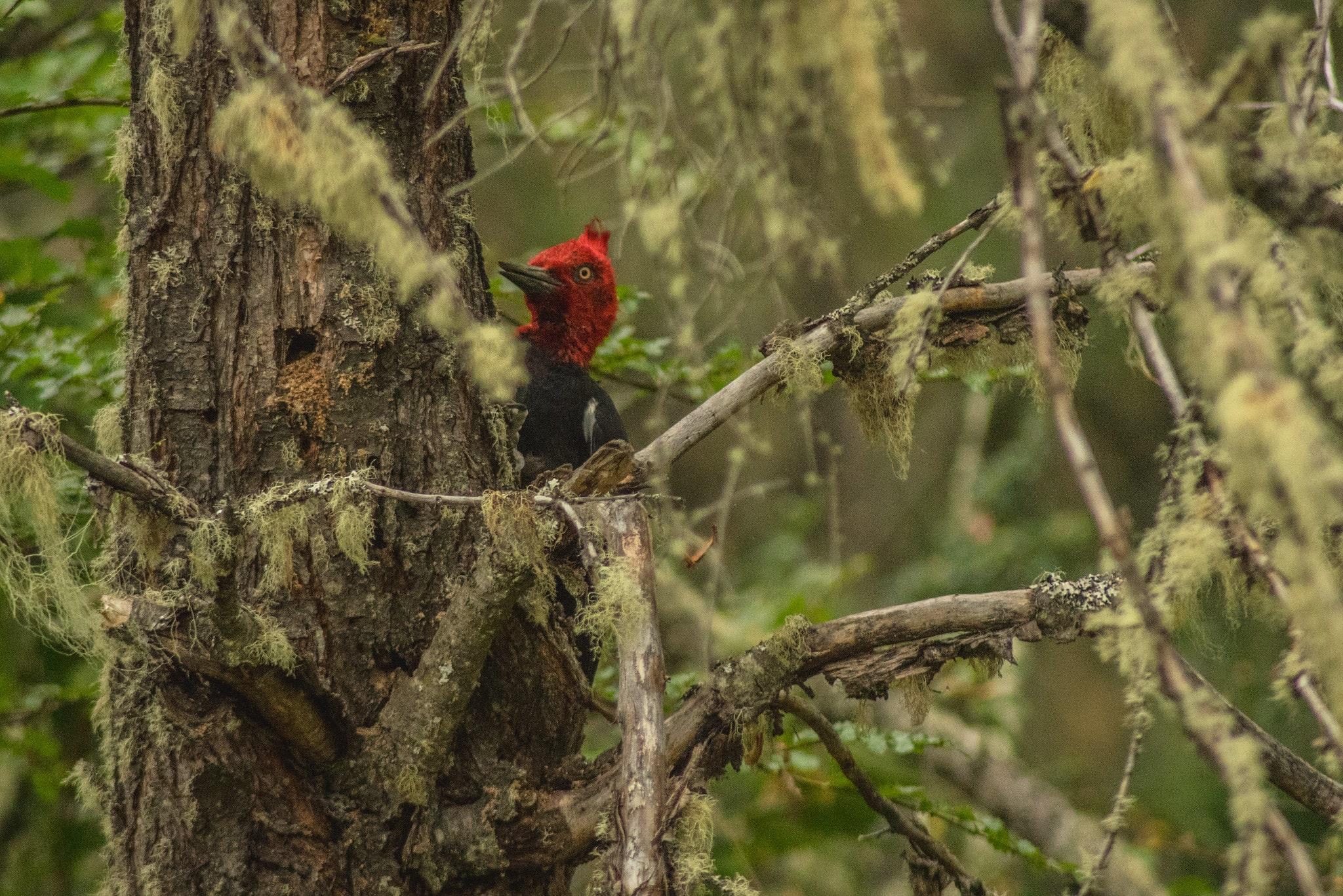 woodpecker bird